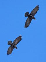 Kolkrabe (Corvus corax), Gemmi (Leukerbad) VS