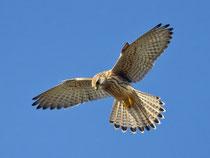 Turmfalke (Falco tinnunculus) rüttelnd, Helgoland DE