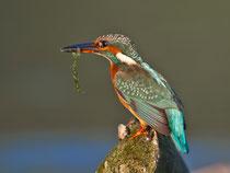 Eisvogel (Alcedo atthis), Aare bei Villnachern