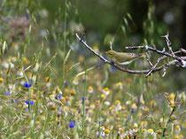 Waldlaubsänger (Phylloscopus sibilatrix), Lesbos, Griechenland