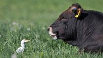 Kuhreiher (Bubulcus ibis), Hendschicken AG