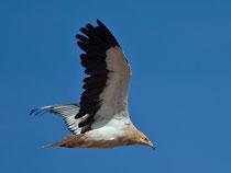 Schmutzgeier (Neophron percnopterus), Fuerteventura, Spanien