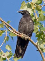 Rabenkrähe (Corvus corone), La Sauge de Cudrefin VD