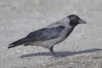 Nebelkrähe (Corvus Cornix), Prerow, Mecklenburg-Vorpommern