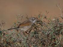 Brillengrasmücke (Sylvia conspicillata) W, Fuerteventura, Spanien