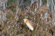 Rallenreiher (Ardeola ralloides), Kalloni, Lesbos GR