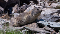 Alpenmurmeltier (Marmota), Ritomsee TI