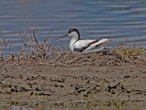 Säbelschnäbler (Recurvirostra avosetta), Kalloni, Lesbos