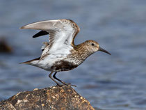 Alpenstrandläufer (Calidris alpina), Shetland GB