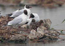Lachmöwe (Chroicocephalus ridibundus) mit Jungvögeln, Neeracher Ried
