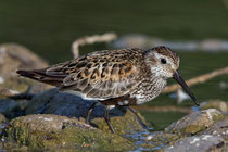 Alpenstrandläufer (Calidris alpina), Jona