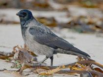 Nebelkrähe (Corvus Cornix), Helgoland DE