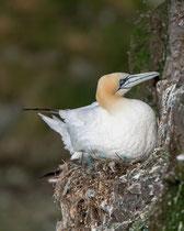 Basstölpel (Morus bassanus), Hermaness / Shetland GB