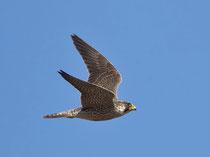 Wanderfalke (Falco peregrinus), Fuerteventura, Spanien