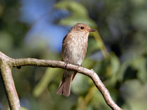 Grauschnäpper (Muscicapa striata), Klingnauer Stausee