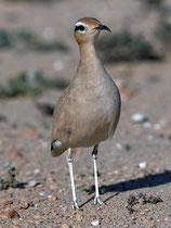 Rennvogel (Cursorius cursor), Fuerteventura, Spanien