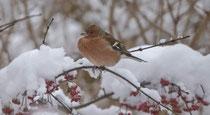Buchfink (Fringilla coelebs) M im Winter, Villnachern
