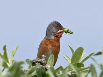 Weissbart-Grasmücke (Sylvia cantillans), Lesbos