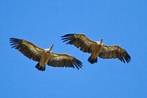Gänsegeier (Gyps fulvus), Monfragüe-Nationalpark, Extremadura E