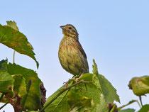 Zaunammer (Emberiza cirlus) Jungvogel, Villigen