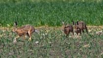 Feldhase (Lepus europaeus), Wauwilermoos LU