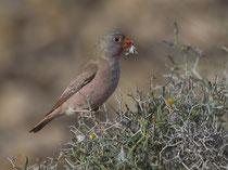 Wüstengimpel (Bucanetes githagineus), Fuerteventura, Spanien