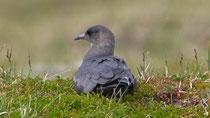 Schmarotzerraubmöwe (Sterocarius parasiticus) dunkle Morphe, Varanger, Norwegen