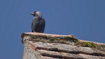 Dohle (Corvus monedula), Schloss Hallwil AG