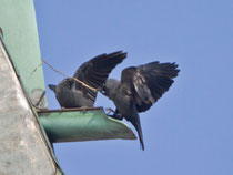 Dohle (Corvus monedula), Leuggern AG