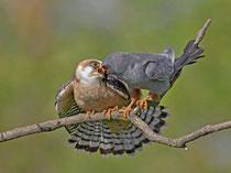 Rotfussfalke (Falco vesperinus), Hortobagy, Ungarn