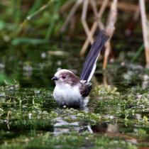 Schwanzmeise (Aegithalos caudatus) Jungvogel, Brugg
