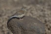 Bluthänfling (Carduelis cannabina) W, Fuerteventura