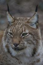 Luchs (Lynx), Tierpark Lange Erlen, Basel