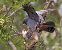 Rotfussfalke (Falco vesperinus) Paarung, Hortobagy, Ungarn