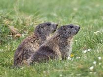 Alpenmurmeltier (Marmota), Bedrettotal TI