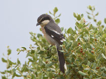 Mittelmeer-Raubwürger (Lanius meridionalis), Santa Marta, Extremadura