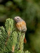 Gartenrotschwanz, Jungvogel, Ronco/Bedretto TI