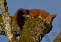 Eichhörnchen (Sciurus vulgaris), Eschenz