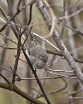 Taigazilpzalp  (Phylloscopus collybita tristis), Klingnauer Stausee