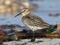Alpenstrandläufer (Calidris alpina), Helgoland D