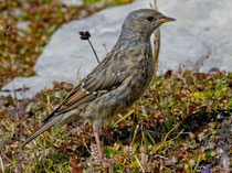 Alpenbraunelle (Prunella collaris), Jugendkleid, Cassonsgrat bei Flims