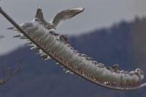 Lachmöwe (Chroicocephalus ridibundus), Dietikon