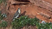 Wanderfalke (Falco peregrinus), Helgoland ...