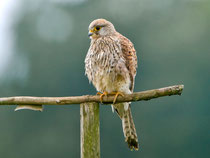 Turmfalke W (Falco tinnunculus), Küttigen AG