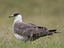 Schmarotzerraubmöwe (Sterocarius parasiticus) helle Morphe, Shetland GB
