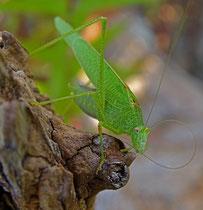 Grünes Heupferd (Tettigonia viridissima), Villnachern