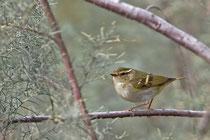 Gelbbrauen-Laubsänger (Phylloscopus inornatus), Fuerteventura