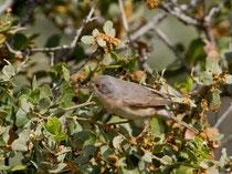 Weissbart-Grasmücke W (Sylvia cantillans), Lesbos