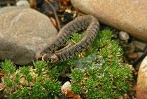 Ringelnatter (Natrix natrix), Villnachern