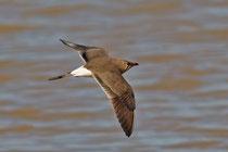 Rotflügel-Brachschwalbe (Glareola pratincola), Castro Verde, Portugal